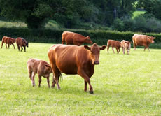 A field of brown cattle