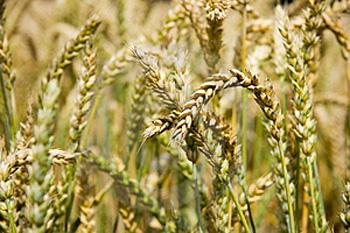 Closeup of a field of wheat