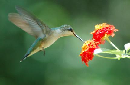 bird pollinator