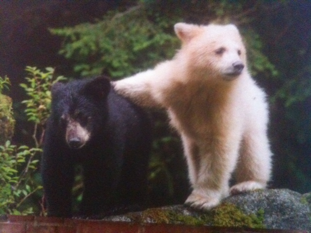 Spirit Bears Are Calling Us