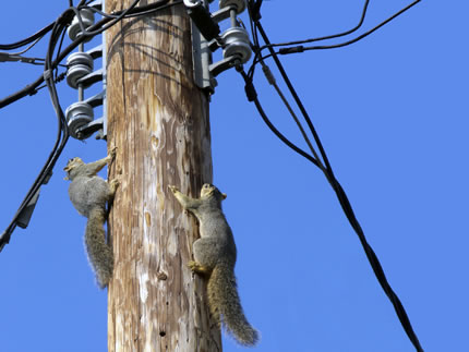 squirrels playing in power post