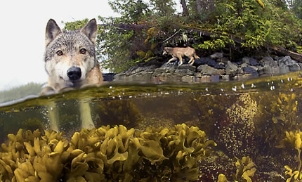 wolf in water looking into the lense