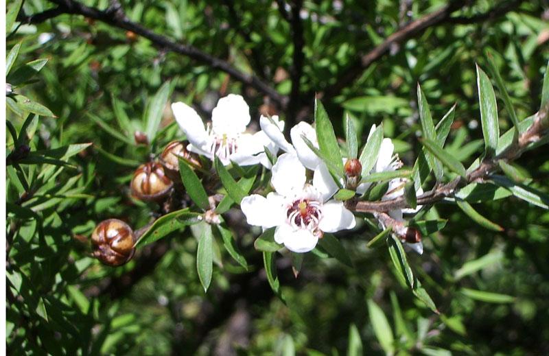 manuka bush and flowers