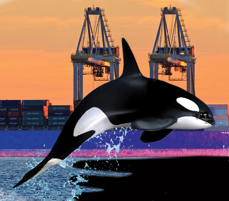 killer whale at Deltaport